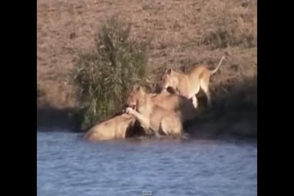 【衝撃映像】ライオンから仲間を助けた勇敢なバッファローがスゴイ