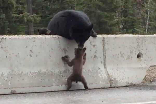 危険な高速道路に置き去りの子熊を助けるお母さん熊が話題に!