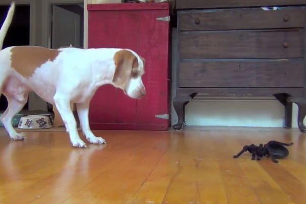 【癒し動画】ビーグル犬 vs ロボット蜘蛛はたして勝者は!?