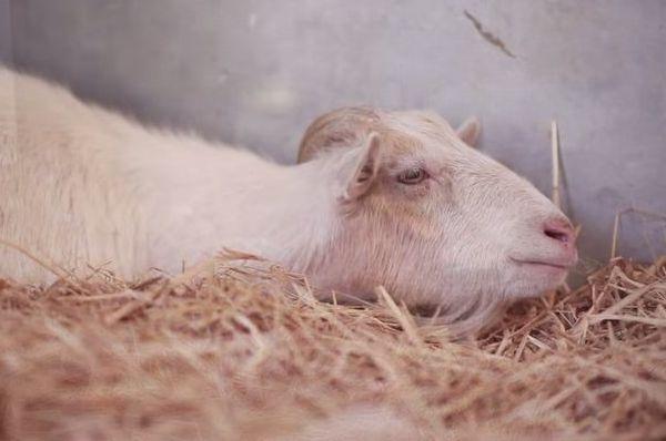 【感動動画】絶食が続くヤギがずっと一緒にいた親友ロバと再会した結果