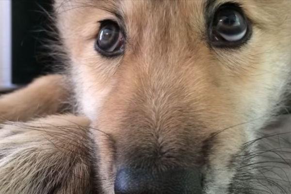 しゃっくりが止まらない子どものネコ、ワンコ、オオカミがあまりにもかわいい動画