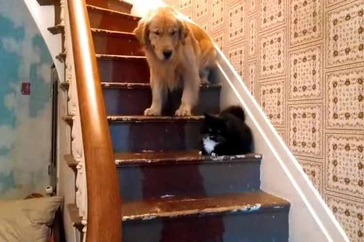 【動画】自分より小さなネコが怖くて階段を降りられないゴールデンレトリバー