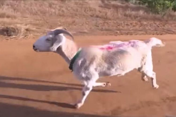 【動画】ヤギのイメージが変わるかも!?本気を出させたヤギが予想以上にスゴい!