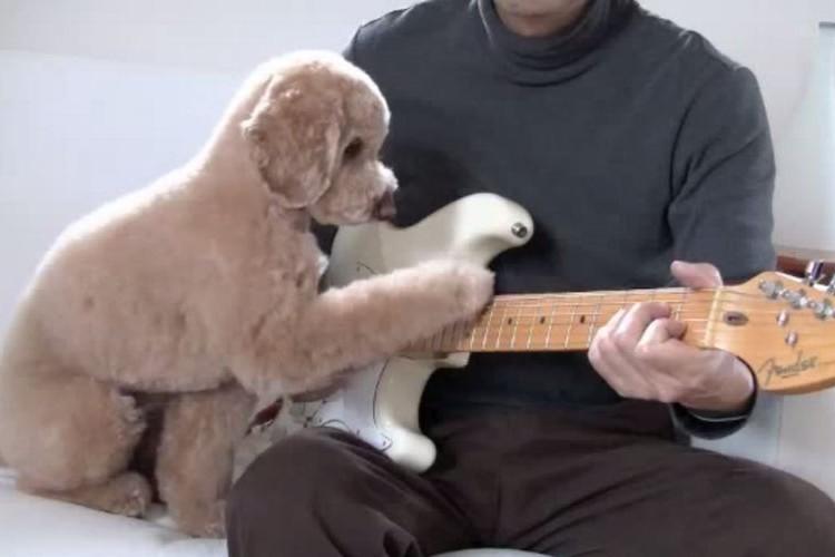 ギター弾くトイプードル!?嘘だと思ったら予想以上に弾いていた