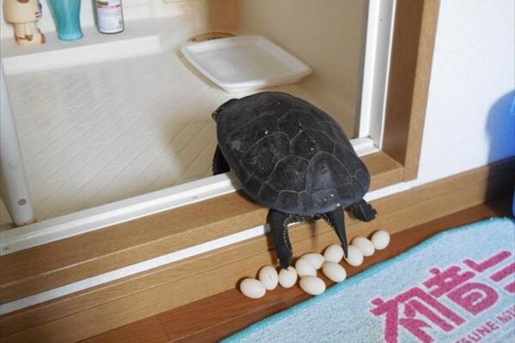自宅で飼っている亀がお風呂の入り口で産卵!その様子がTwitterで大反響に