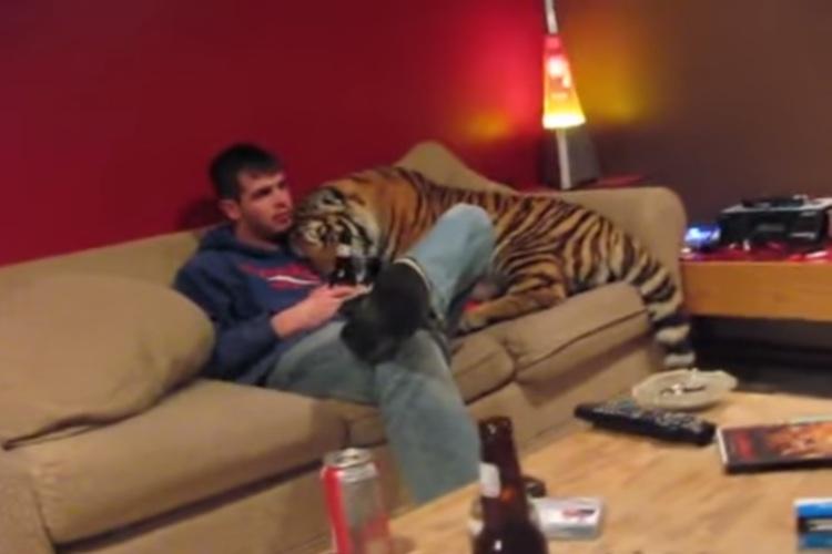 大きなネコかと思ったら虎だった!?家に虎がいる生活がスゴい!
