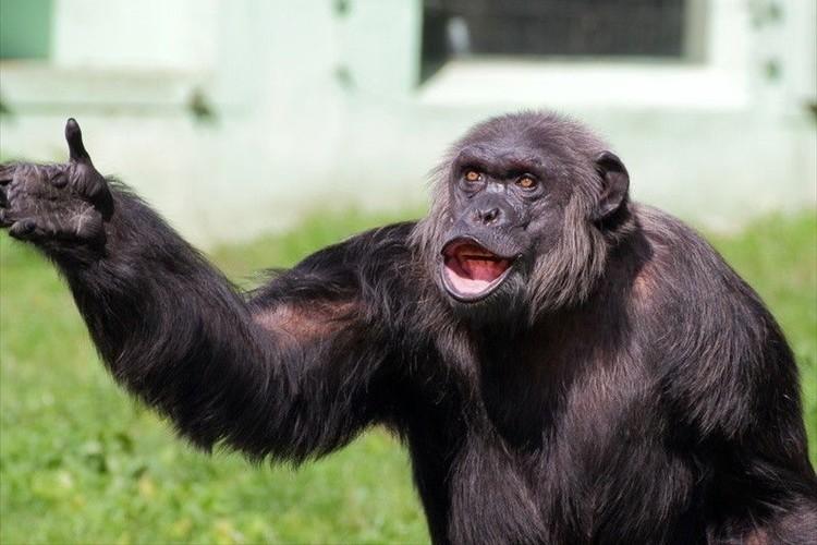 """世界初""""チンパンジー語""""の辞書が作成され36種類のジェスチャーの解析に成功"""
