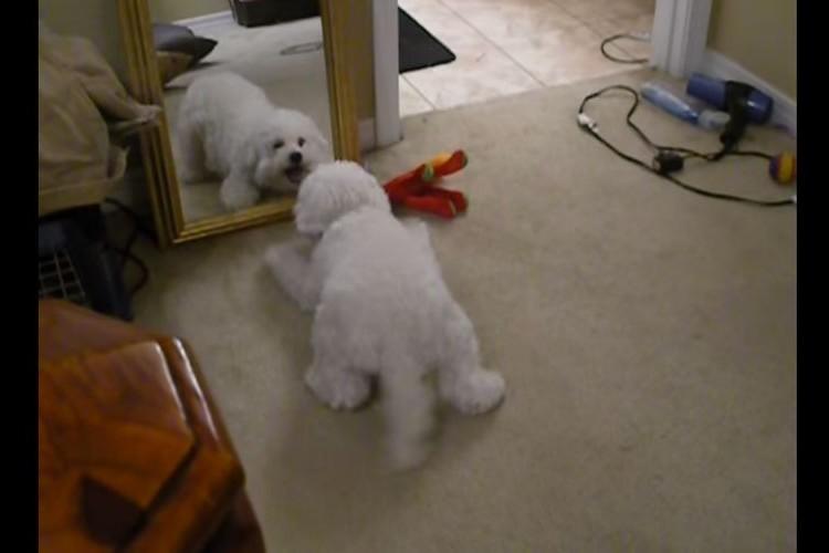 「マネするんじゃないワン!」鏡の中の自分と闘うワンコが必死過ぎて微笑ましい