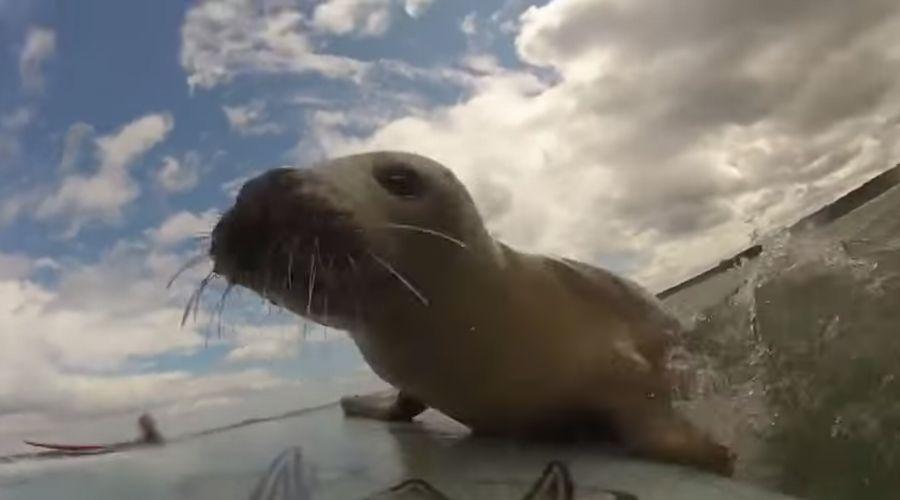 人懐っこ過ぎる野生のアザラシと一緒にサーフィンした映像がカワイイ!