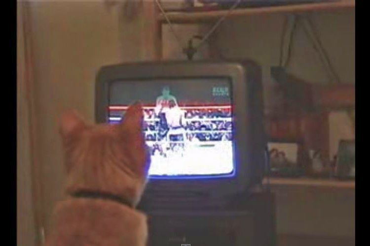 ネコ「そこでフックだ!打て!」試合を見てエキサイトする猫がカワイすぎる
