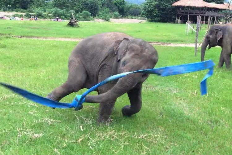【動画】リボンを子ゾウに与えたら遊び方が無邪気すぎる