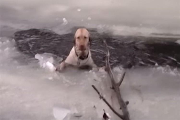 絶望的な悲鳴をあげるラブ犬を救うレスキュー隊。彼らは真のヒーローだ!