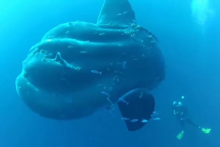 体長5m級の超巨大マンボウ出現!遭遇したダイバーも大興奮の映像