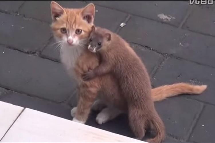 仔猫のことが相当好きなイタチがギュッと抱きしめるカワイイ映像