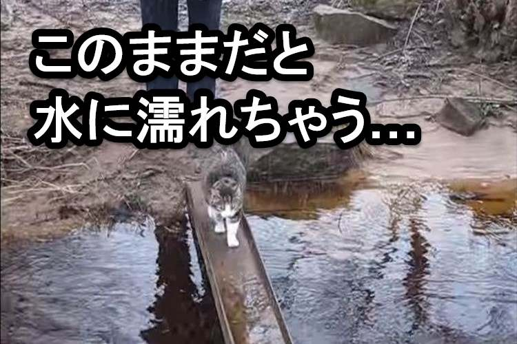 「水に濡れたくないイヤにゃ!」橋の真ん中にある水たまりをどうしても避けたかった猫の行動がオモシロイ