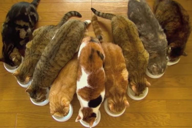 【癒し映像】9匹のネコが整列してお行儀良く朝ごはんを食べてる映像が話題に