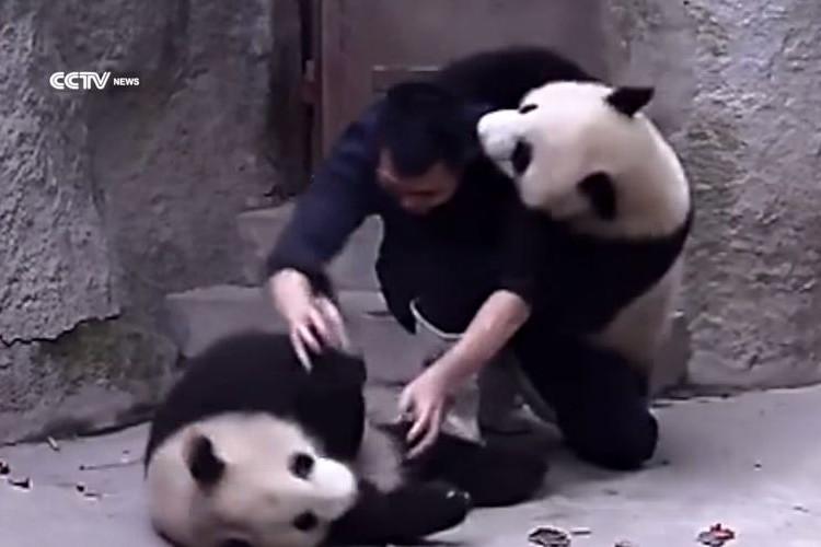 【カワイすぎる】薬を飲ませたい飼育員 vs 絶対飲みたくないパンダがじゃれあってるようにしか見えない