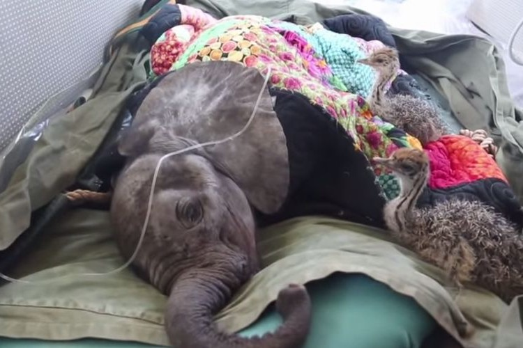 ケニアで落下し衰弱していた仔象を無事救出。一緒に2匹のお友達も