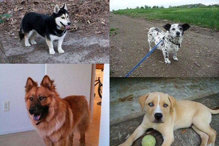 """チャウチャウ + ハスキー で""""チャウスキー""""など異なる犬種を組み合わせた可愛いミックス犬21種"""