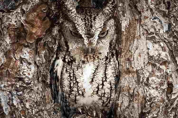 フクロウがどこに隠れているか分かりますか?恐るべきフクロウの隠れ身の術16選
