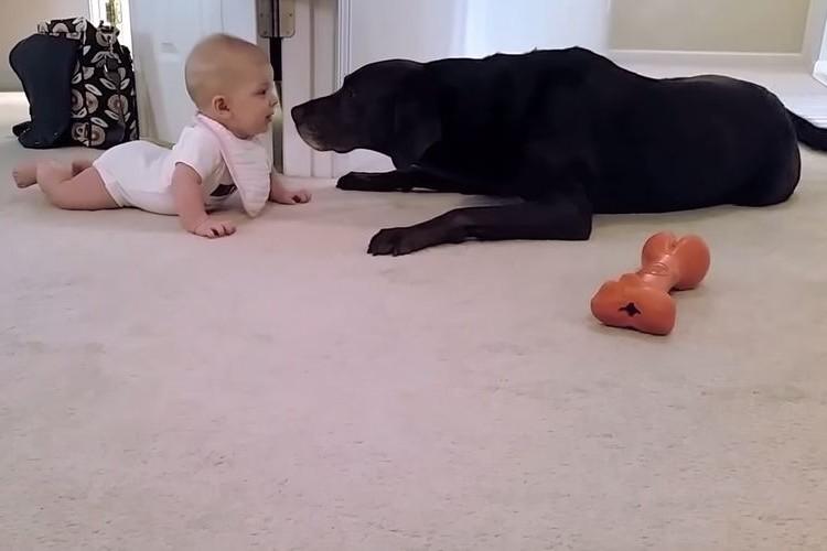 赤ちゃんが初めてのハイハイに成功!そのご褒美に黒ラブがご褒美のキス