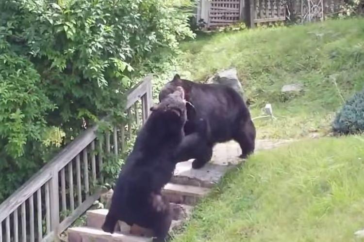 民家のすぐそばに体長2m以上の熊が!しかも2匹で大喧嘩。辺りは一時騒然と