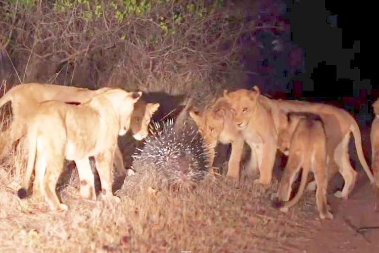 ヤマアラシ最強説!?17頭のライオンに囲まれても生き延びる恐るべき防御力
