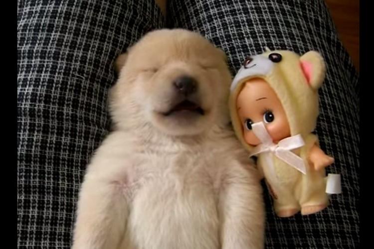 【動物萌え】どんな夢をみているのかな?生まれたての白い柴犬の寝言で遠吠えする姿がかわいい