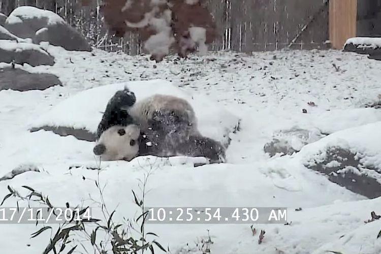 「イヤッホーイ!」雪ではしゃぐパンダ。今年初めての雪に楽しくてたまらない