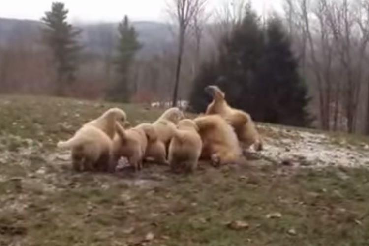 【恐怖】5匹の子犬たちに襲われるママ犬、最後は全面降伏