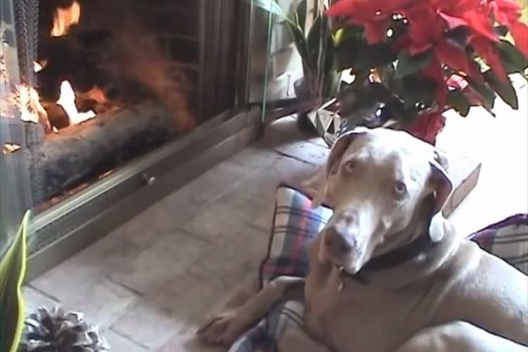 お気に入りの場所見つけた!ベッドを自分で暖炉の前に持ってきてくつろぐ賢い犬