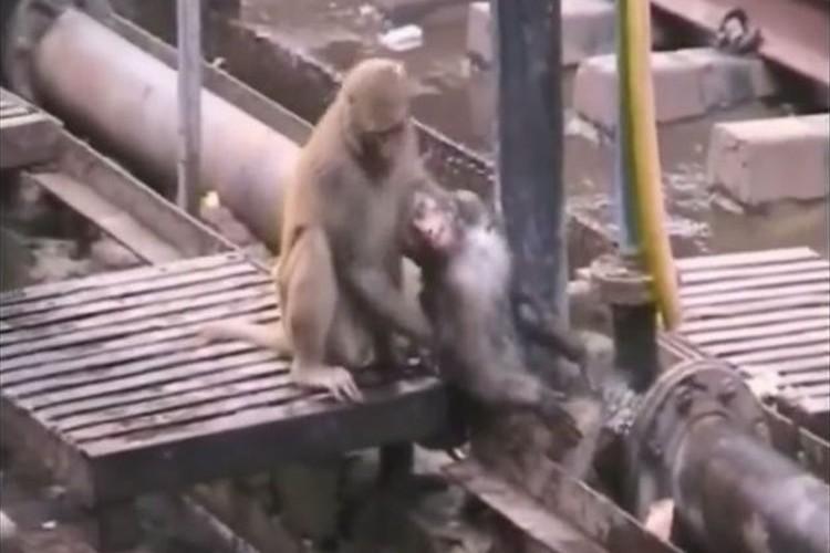 """感電し意識を失った仲間の猿を救出する""""モンキードクター""""が世界中で話題に!"""