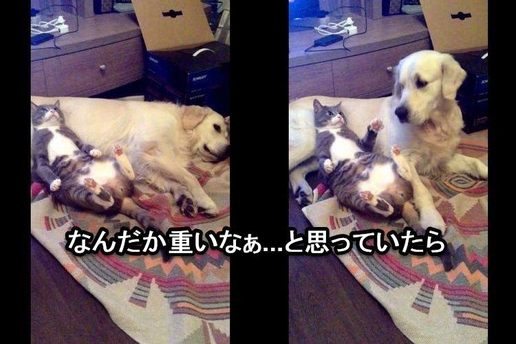 犬「重いなぁ...」犬を枕代わりにしている猫がバレてしまったリアクションが面白い!