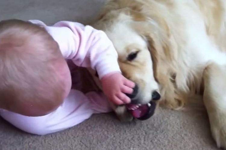 ゴールデンレトリバーが食いついている骨をどうしても欲しがる赤ちゃん。最後は根負け...