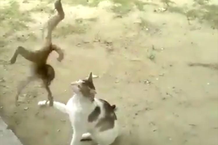 Facebookで500万再生された子どもの猿と猫がじゃれあう映像。猿のしつこさが話題に!