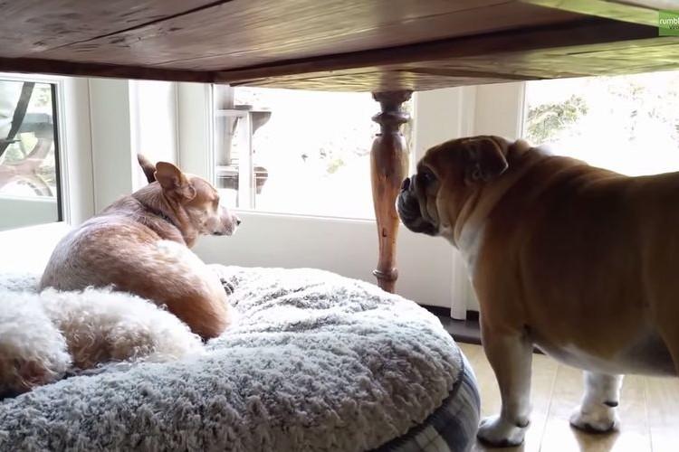 「ぐぬぬ...自分の場所なのに」他の犬にお気に入りのベッドを奪われたブルドッグの哀しい鳴き声