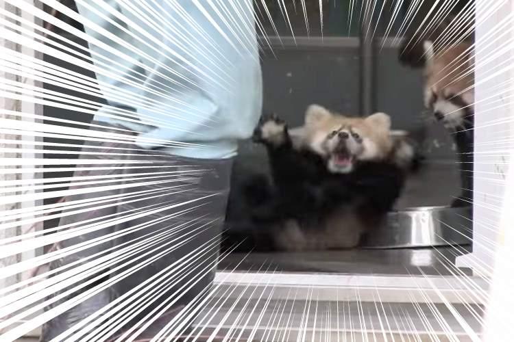 【このかわいさは反則】腰を抜かすほどびっくりしたレッサーパンダのギンちゃんのリアクション
