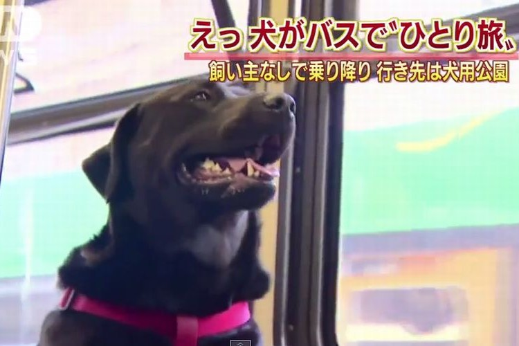 天才犬現る!!飼い主抜きでバスに乗って移動する犬!