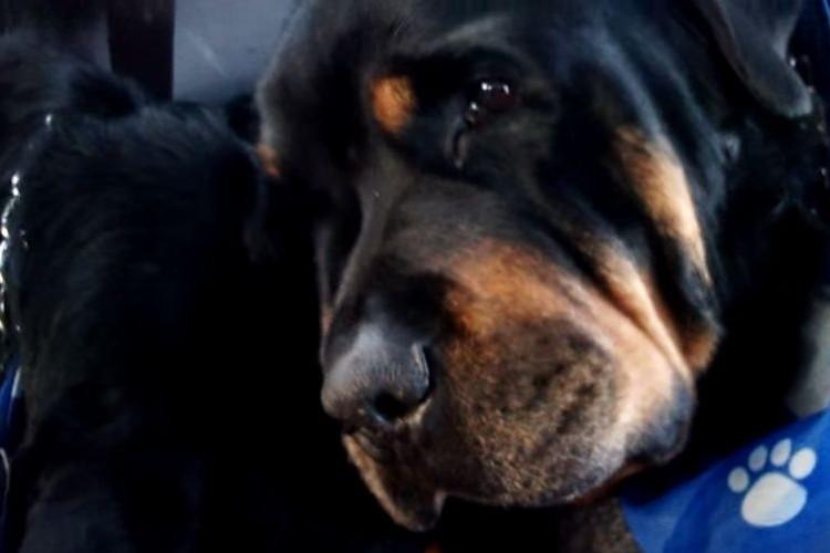 【悲痛】いつも一緒だった兄弟のそばから離れようとしないロットワイラー犬