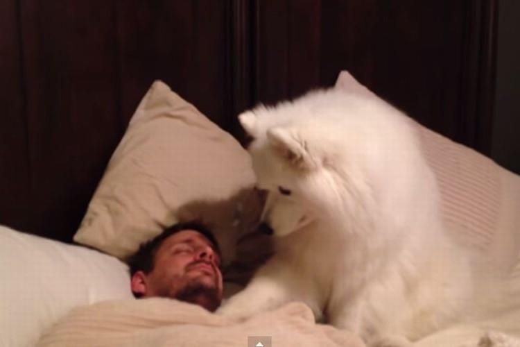 「ねぇねぇ...起きてよ。」優しくパパをおこすサモエド犬がかわいい!!