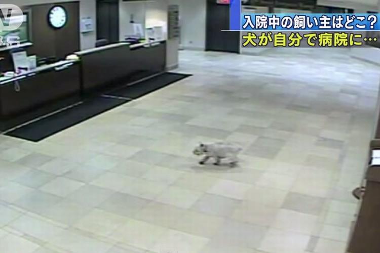 【忠犬シシー】飼い主の入院する病院を探し当て訪問した犬が話題に!!