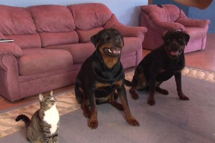 【天才猫】犬と一緒に飼い主の指示を聞くネコが超かわいい!