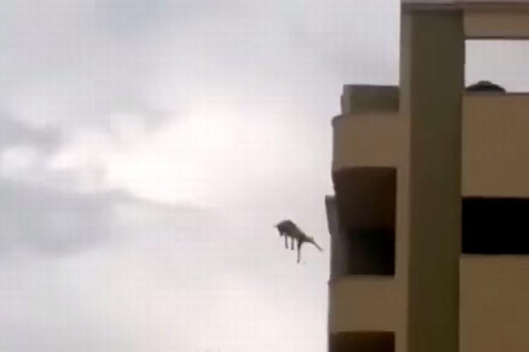 【衝撃映像】ビルの4階から犬が飛び降りた!!着地後まさかの・・・