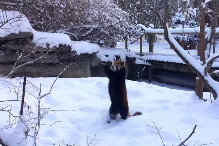 「やったー!」雪で大喜び!両手を上げ全身で喜びを表現するレーサーパンダが超かわいい