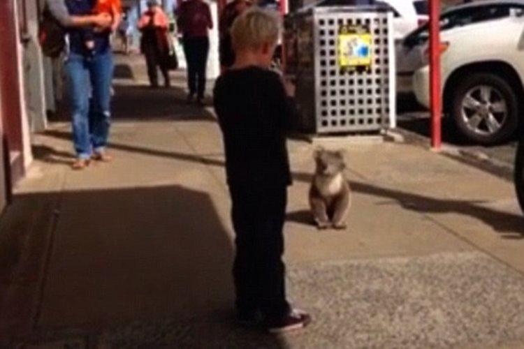 コアラ「OK、いつものポーズね」写真を撮る少年のためにわざわざ止まってあげたコアラが大人気!