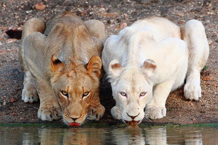 素晴らしい個性の持ち主。美しきアルビノの動物たち