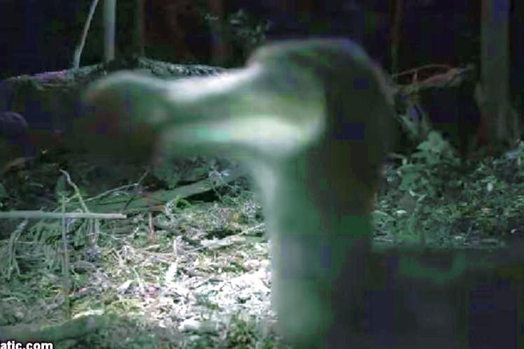"""絶滅したと思われた""""ドードー鳥""""が350年ぶりに発見された貴重映像"""