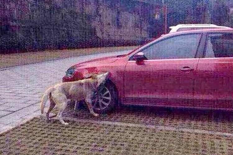 ワンコの復讐!蹴り飛ばされた犬が仲間を連れて車に倍返し!