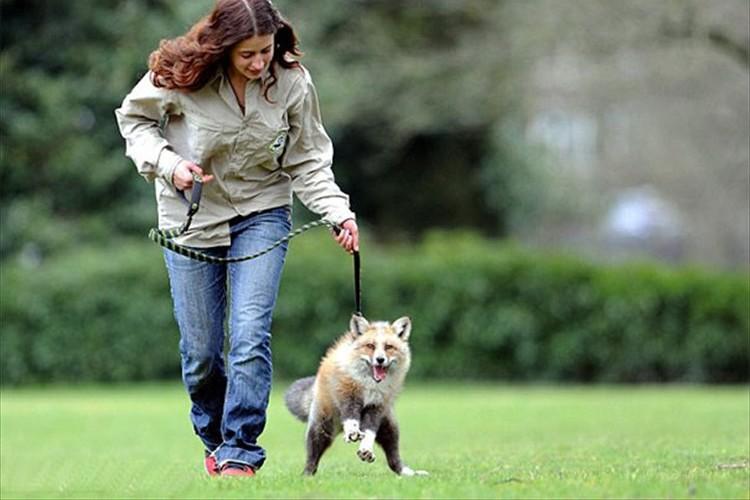 自分を犬だと思っているキツネ。嬉しいときは尻尾をふり、リードをつけて公園を散歩もする