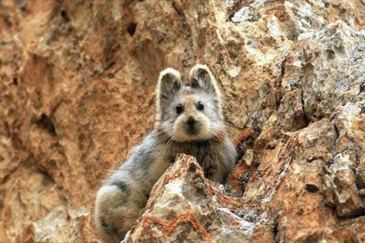 もふもふカワイイ!絶滅危惧種イリナキウサギが20年ぶりに中国で発見される
